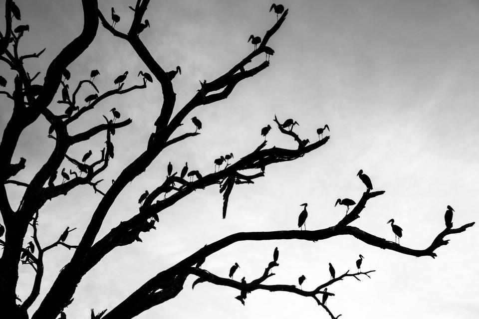 Open Bill Storks
