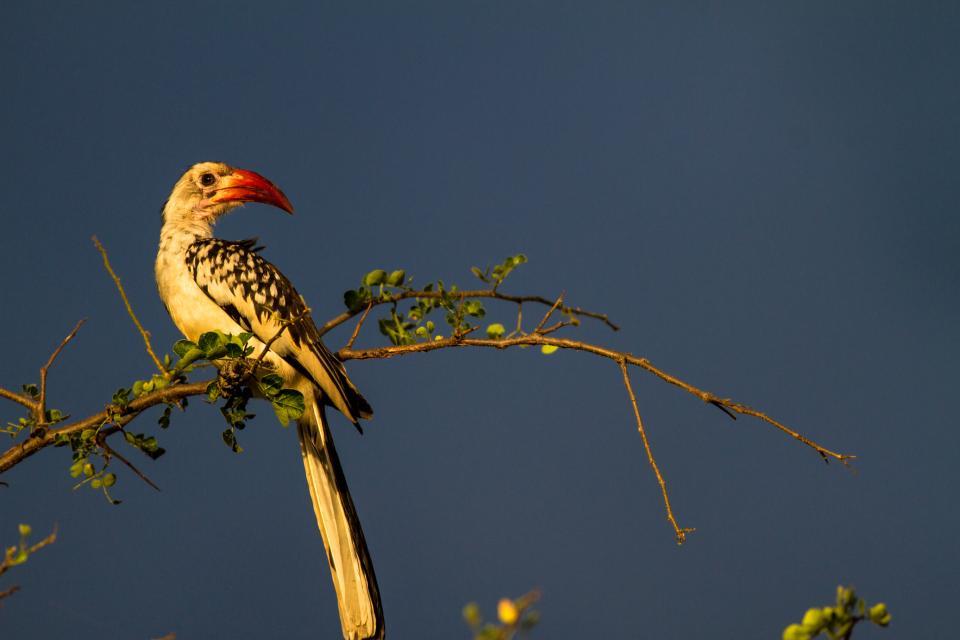 Rd Billed Hornbill